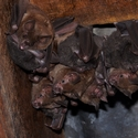 SPEAR-NOSED BATS, Playa Nicuesa